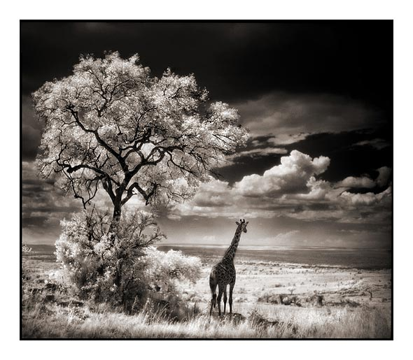 Giraffe looking over plains on angadsodhi.com
