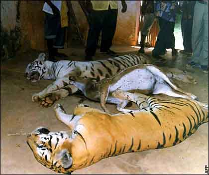 AngadSodhi.com - A tiger killed by poachers