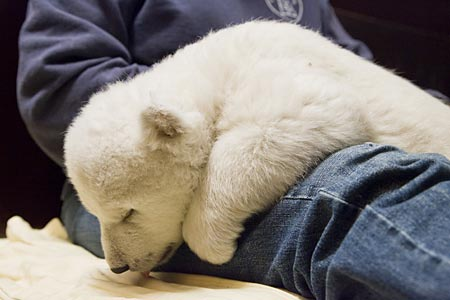 cute baby polar bear Flocke on AngadSodhi Dot Com